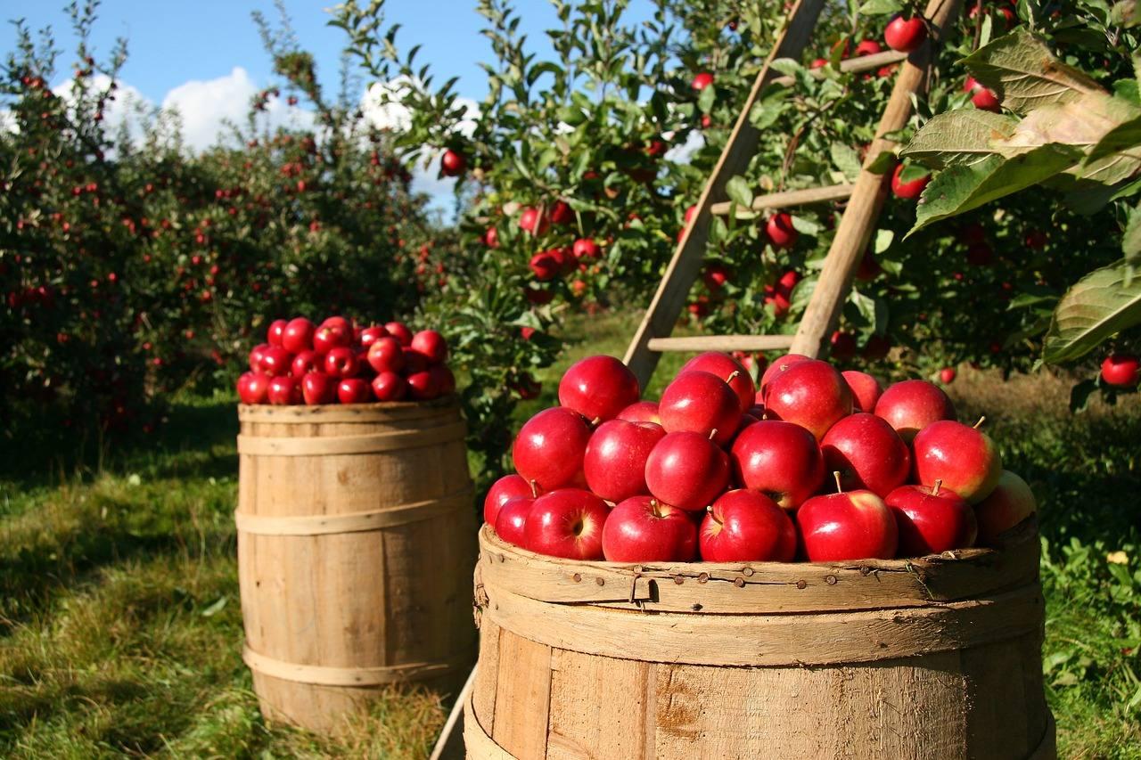 Le mele: il proverbio ha pienamente ragione