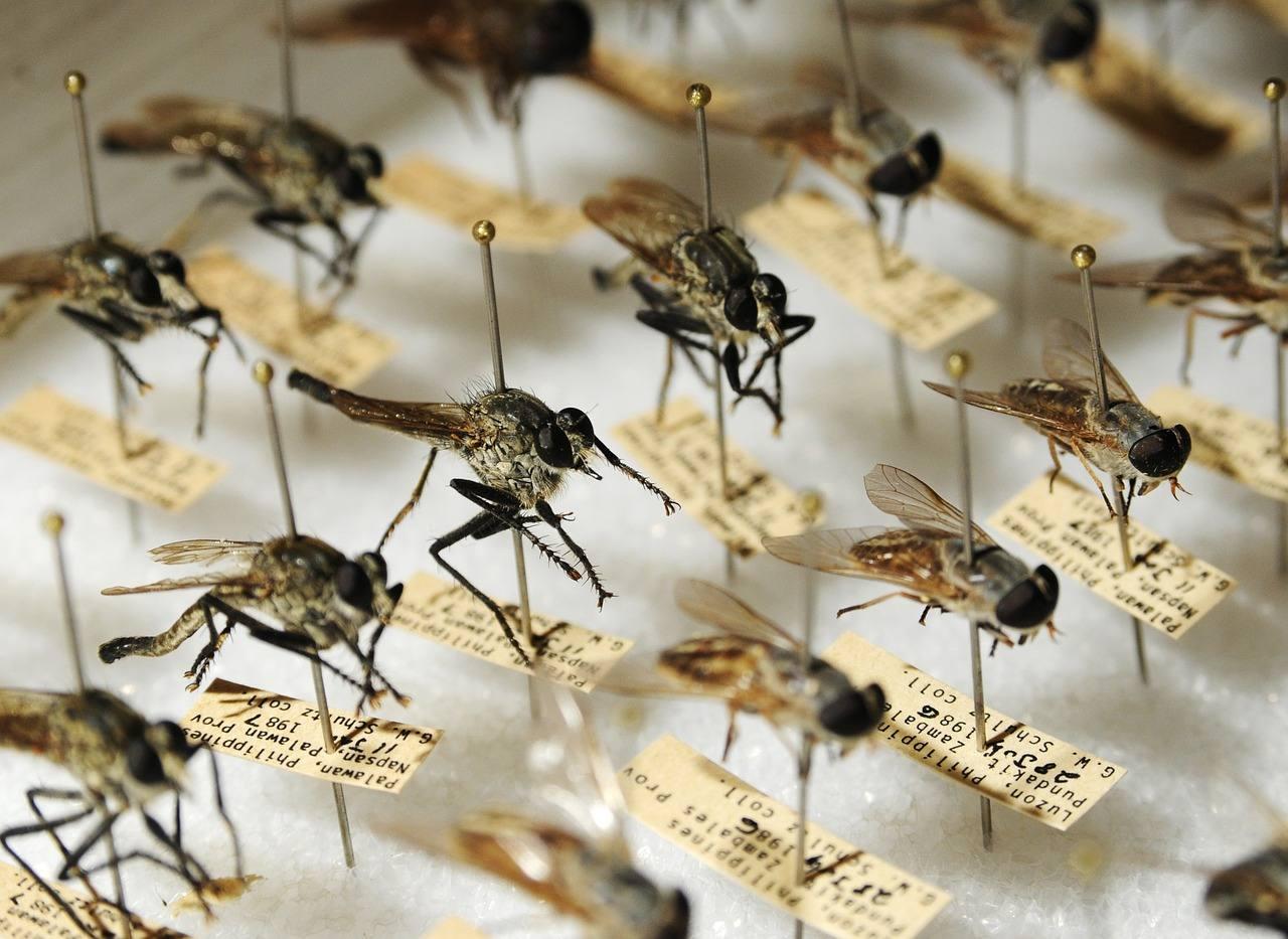 Disinfestazione zanzare: zanzara comune (culex pipiens)